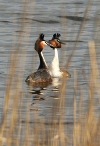 Great-Crested-Grebes-547x800