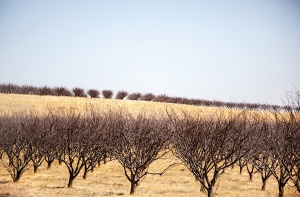 Dead almond trees in a field of gold. Firebaugh, California. Photo credit: Randi Lynn Beach