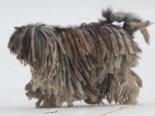 Bergamasco_shepherd_dog_-_merle_female_cropped